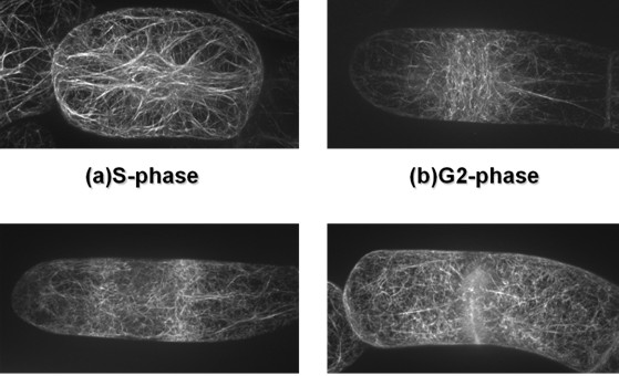 动物细胞微丝观察观察结果图片
