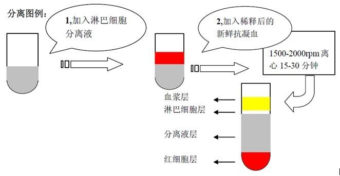 注意事项 1. 启封后应置4保存避免微生物的污染。2. 细胞分离液从冰箱取出后,不可立即使用,需待 溶液温度升至室温时,摇匀后使用。3. 整个分离过程中,温度应控制在18-28且在无菌环境 下,避免微生物的污染,否则会影响分离质量。 应用 -从动物血液及组织中分离所需细胞 特点 -密度变化率依照Ficoll 400,泛影酸和氢氧化钠.